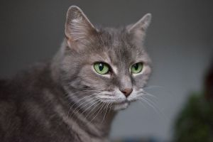development pedigreed cats